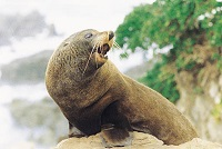 NZ fur seal at Palliser Bay