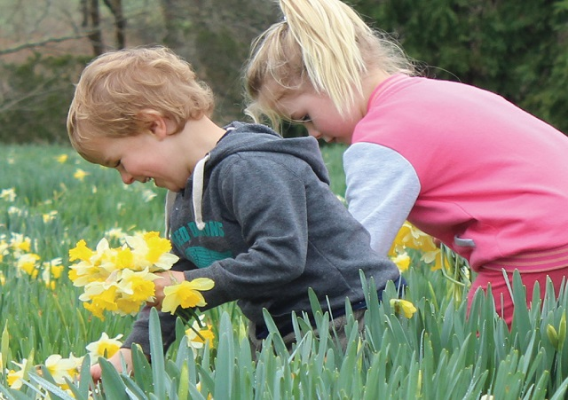 Keen daffodil pickers at Middlerun