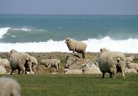 Staunch south coast sheep