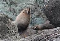 Palliser Fur Seals
