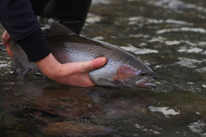 Tag and release trout on the Ruamahanga River