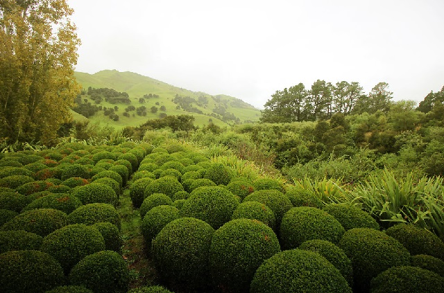 Field of topiary at 'Old Tablelands' Martinborough