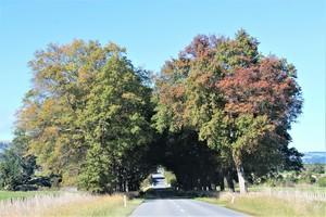 Memorial row of scarlet oaks