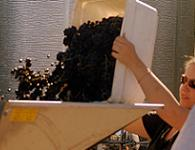 Grapes into the destemmer