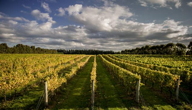 Vines under a wide Wairarapa sky