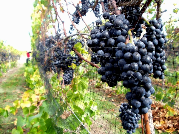 Pinot noir ready for harvest