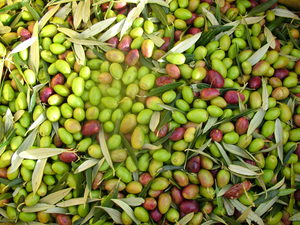 Wairarapa olives - the pick of the crop