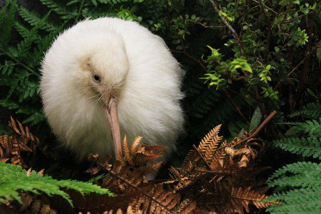 Manukura - the white Kiwi