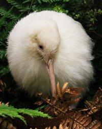 Manukura a very special kiwi