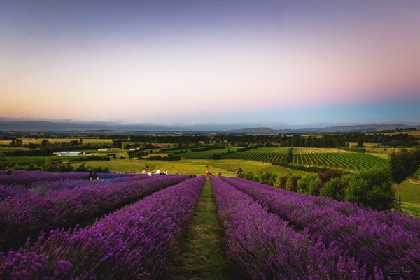 Ranui Essentials Star Gazing and Pick Your Own Lavender