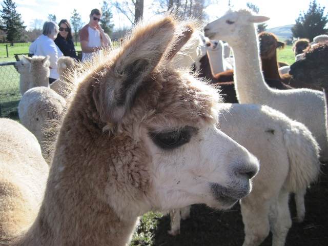 The Alpaca Place