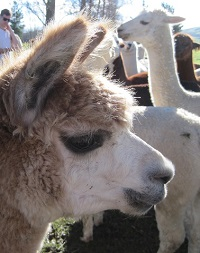 The Alpaca Place, Masterton