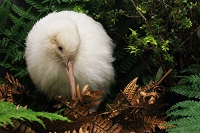 See Manukura the white kiwi at Pukaha