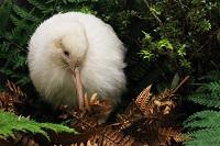 See Manukura the white kiwi at Pukaha