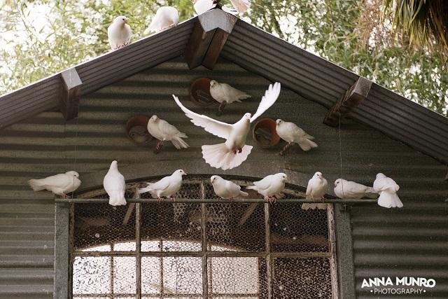 Doves landing!