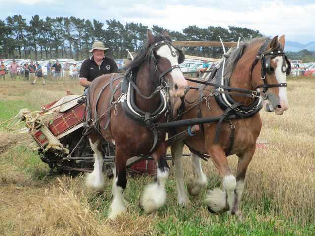 Steve Muggeridge and his magnificent draft horses