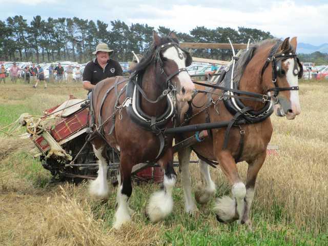 Steve Muggeridge and his magnificent draft horses