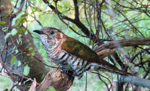 Shining Bronze Cuckoo at Te Rakau Birding, Featherston