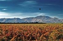 Escarpment's vines in autumn